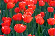 Free Red Tulips Stock Images - 6701424