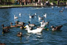 Free Group Of Various Ducks Stock Image - 6701731