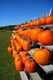 Free Rows Of Pumpkins Stock Images - 6702644