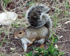 Free California Grey Squirrel Royalty Free Stock Photos - 6703118