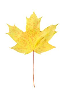 Yellow Autumn Maple Leaf Isolated Royalty Free Stock Image