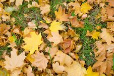 Yellow Maple Leafs On Green Grass Stock Photo