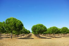 Free Field Of Green Pines. Royalty Free Stock Images - 6708199