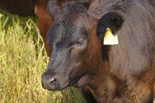 Free Bull. Stock Image - 6709421