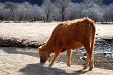 Free Grazes Cow Royalty Free Stock Image - 6709626