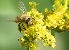 Free Honey Bee On Goldenrod Wild Flower Stock Photos - 67052653