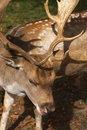 Free Male Deer Head Close Royalty Free Stock Photo - 6712355