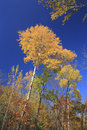 Free Gold Of Fall (autumn Birch With Yellow Leaves) Royalty Free Stock Photography - 6715897