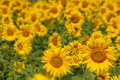 Free A Field Of Sunflowers Royalty Free Stock Images - 6718729