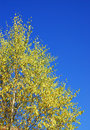 Free Yellow Tree Royalty Free Stock Image - 6719976