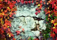 Free Vine Branch On The Wall. Stock Photos - 6711203