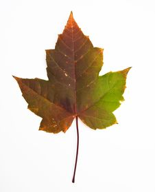 Free Maple Leaf Royalty Free Stock Photography - 6712467