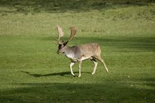 Free Deer Royalty Free Stock Photo - 6712545