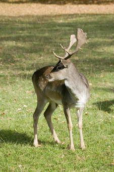 Free Deer Royalty Free Stock Image - 6712666