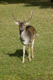 Free Deer Royalty Free Stock Image - 6712746