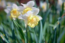 Free Narcissus Stock Photo - 6713410