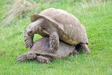 Free Sulcata Giant Tortoise Stock Photography - 6714212