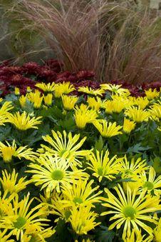 Free Chrysanthemum Field Stock Photography - 6715152