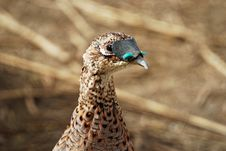 Free Hen Pheasant At Pheasant Valley Shooting Preserve Royalty Free Stock Photo - 6715215