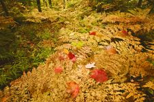Ferns In The Fall Royalty Free Stock Images