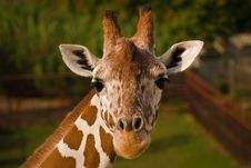 Free Giraffe Face. Royalty Free Stock Photography - 6716067