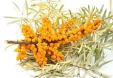 Medical Berries Of Buckthorn Berries Royalty Free Stock Image