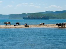 Free Cows And Sea 5 Stock Photo - 6716310