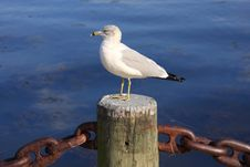 Free Seagull Royalty Free Stock Image - 6716526