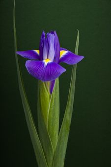 Free Iris Close-up Royalty Free Stock Photo - 6717615