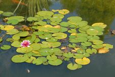 Free Pink Water Lily In The Pond Stock Photography - 6717632