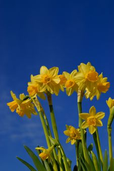 Free Narcissus Stock Photography - 6717812
