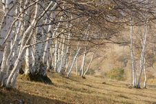 Free Silver Birch Stock Photography - 6718002