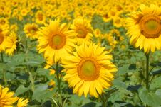 A Field Of Sunflowers Stock Image