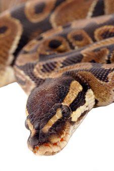 Royal Python Snake Stock Photos