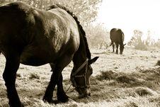 Free B&W. Horses Stock Images - 6719874