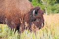 Free Bison At Grand Teton National Park Stock Images - 6727174