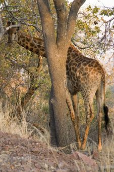 Free Giraffe Hiding Stock Photo - 6720700