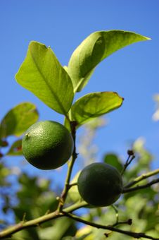 Free Green Lime Stock Image - 6721441