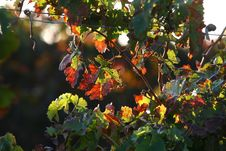 Free Vineyard Background Royalty Free Stock Photo - 6721885