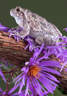 Gray Tree Frog On Vine Stock Photography
