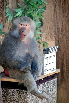 Free Baboon Stock Photos - 6723603