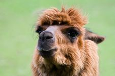 Free Llama 1 Stock Photo - 6723620