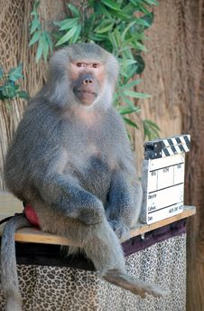 Free Baboon Royalty Free Stock Images - 6723679