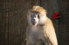 Free Baboon Stock Images - 6723724