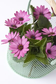 Free Pink Daisies And Leaves Royalty Free Stock Image - 6723786