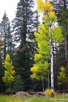 Free Fall Aspen Royalty Free Stock Photo - 6723895