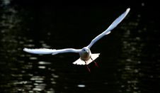 Free White Seagull In Flight Stock Image - 6723941