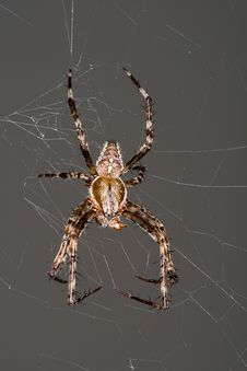 Free Cross Spider 2 Royalty Free Stock Image - 6724046