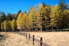 Free Fall Aspen Forest Stock Photos - 6724993
