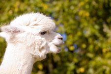 Free Alpaca Stock Photography - 6725222